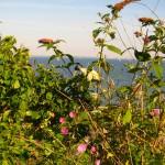 Vens egen blomma: Malvan